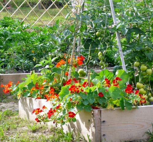 9 Best Companion Plants for Growing Healthy Tomatoes