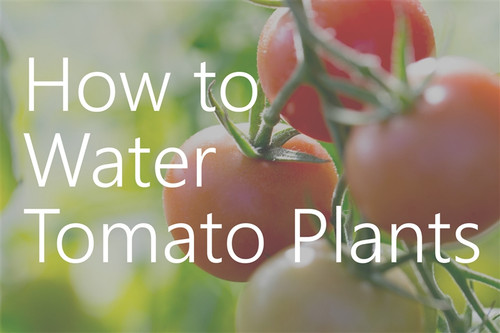 Watering Tomatoes Correctly