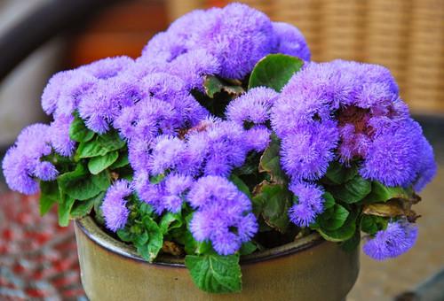 Ageratum 'Blue Mink' (Ageratum Houstonianum Mill.) Flower Plant Heirloom, 450-510 Seeds