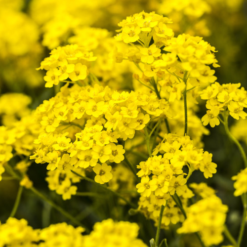 Allysum Mountain 'Yellow' (Alyssum Montanum L.) Flower Plant Heirloom, 0.5g/0.02oz (~1000) Seeds