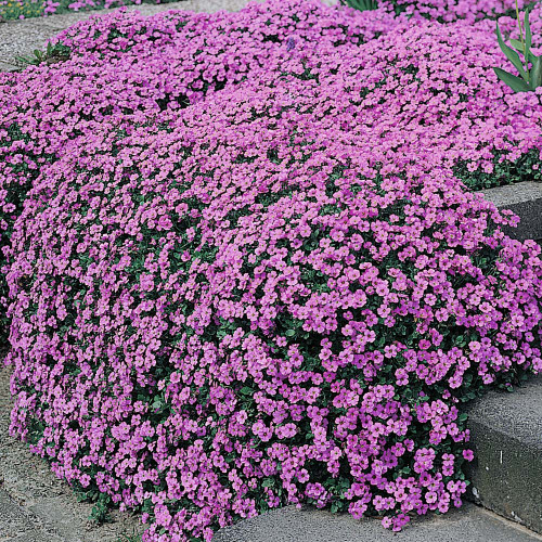 Alyssum Sweet 'Rosie O'Day' (Lobularia Maritima L.) Flower Plant Heirloom, 1250 Seeds