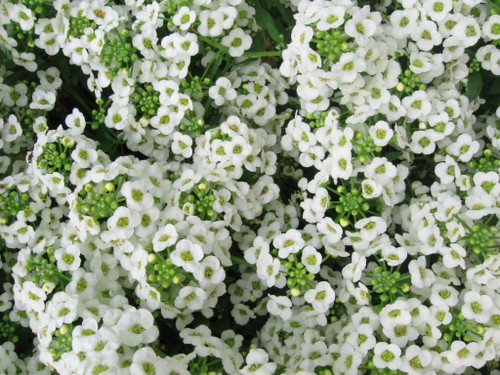 Alyssum Sweet 'Snowcloth' (Lobularia Maritima L.) Flower Plant Heirloom, 2500 Seeds