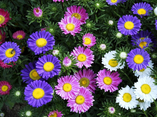 Aster Alpine 'Mix' (Aster Alpinus L.) Flower Plant Heirloom, 350-400 Seeds