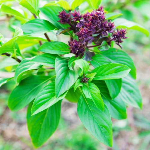 Basil Sweet 'Cinnamon' (Ocimum Basilicum L.) Herbal Plant Heirloom, 455 Seeds
