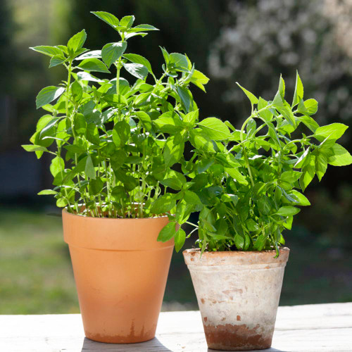 Basil Sweet 'Lemon' (Ocimum Basilicum L.) Herbal Plant Heirloom, 455 Seeds
