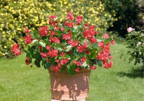 Begonia 'Broumov H' (Begonia Semperflorens) Flower Plant Hybrid, 50 Seeds