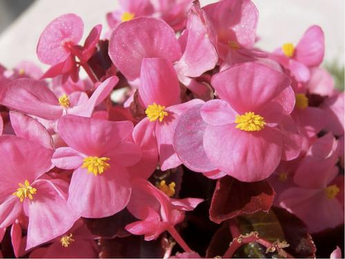 Begonia 'Oreb H Pink' (Begonia Semperflorens) Flower Plant Hybrid, 50 Seeds