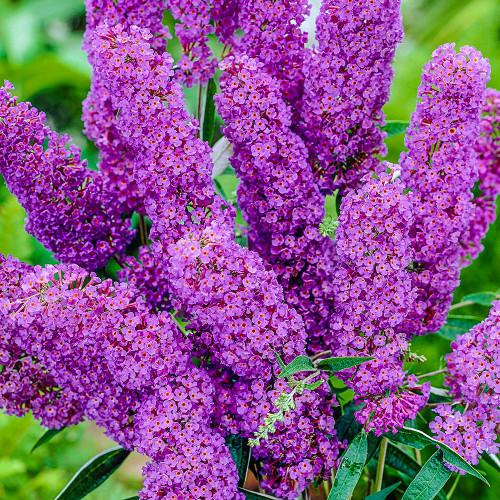 Butterfly Bush (Buddleja Davidii) Flower Plant Heirloom, 2900-3000 Seeds