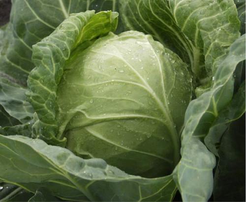 Cabbage 'Langedijker Dauer' (Brassica Oleracea L.) Vegetable Plant Heirloom, 2g/0.07oz (~600) Seeds