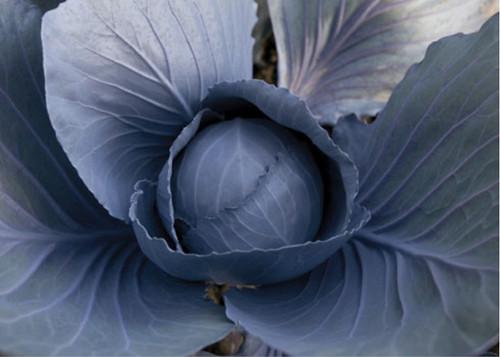 Cabbage Red 'Langedijker Dauer' (Brassica Oleracea) Vegetable Plant Heirloom, 300 Seeds