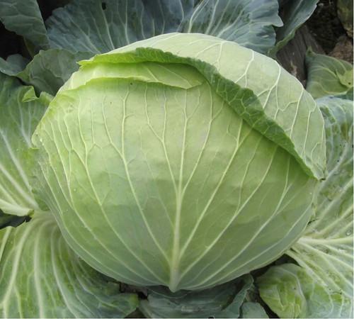 Cabbage 'Quintal D'Alsace' (Brassica Oleracea L.) Vegetable Plant Heirloom, 2g (0.07oz) Seeds