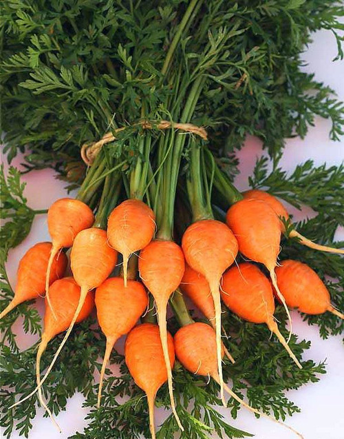 Carrot 'Romeo' (Daucus carota) Vegetable Plant Heirloom, 1600-2000 Seeds