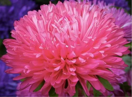Chinese Aster 'Color Carpet Pink' (Callistephus Chinensis L.) Flower Plant Heirloom, 225-240 Seeds