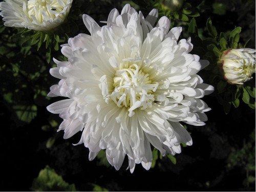 Chinese Aster 'Color Carpet White' (Callistephus Chinensis L.) Flower Plant Heirloom, 225-250 Seeds
