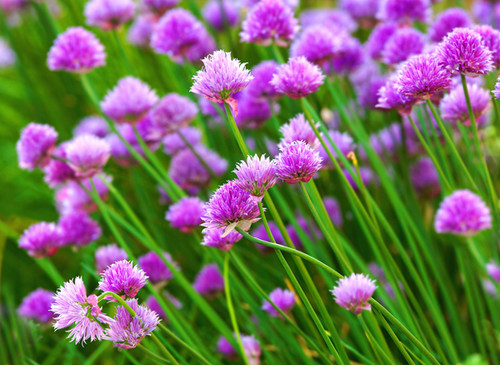 Chives (Allium Schoenoprasum L.) Herbal Plant Heirloom, 1200-1275 Seeds
