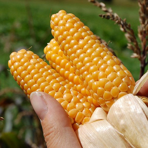 Corn 'Tom Thumb' (Zea Mays) Organic Vegetable Plant Heirloom, 5g (0.17oz) Seeds