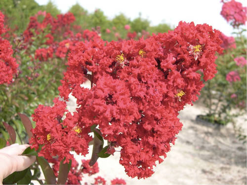 Crape Myrtle 'Shrub Pink' (Lagerstroemia Indica L.) Flower Plant Heirloom, 40 Seeds