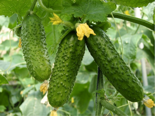 Cucumber Gherkin 'Cornichon De Paris' (Cucumis Sativus L.) Vegetable Plant Heirloom, 70-100 Seeds