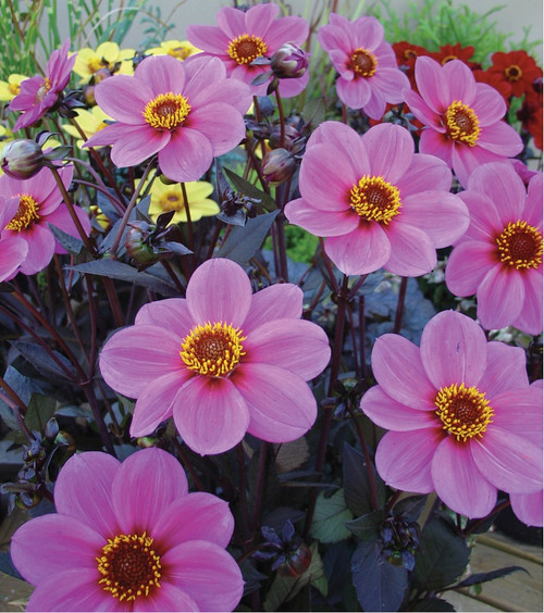 Dahlia 'Mignon Purple Shades' (Dahlia Pinnata Cav.) Flower Plant Heirloom, 90-110 Seeds