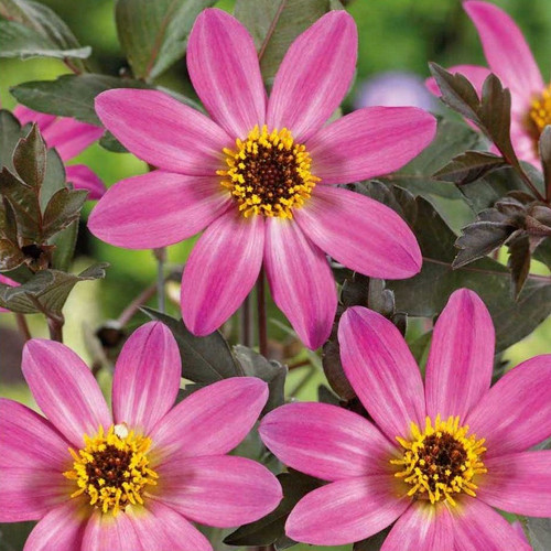 Dahlia 'Mignon Rose Shades' (Dahlia Pinnata Cav.) Flower Plant Heirloom, 90-110 Seeds