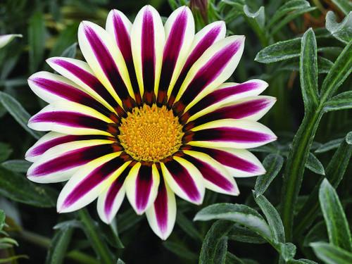 Gazania New Day 'Rose Stripe' (Gazania Rigens L.) Flower Plant Heirloom, 15 Seeds