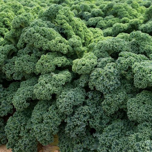 Kale Curly Green 'Kapral' (Brassica Oleracea L.) Vegetable Plant Heirloom, 520-620 Seeds