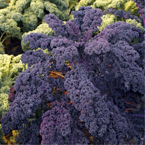 Kale Curly Purple 'Scarlet' (Brassica Oleracea L.) Vegetable Plant Heirloom, 130-155 Seeds