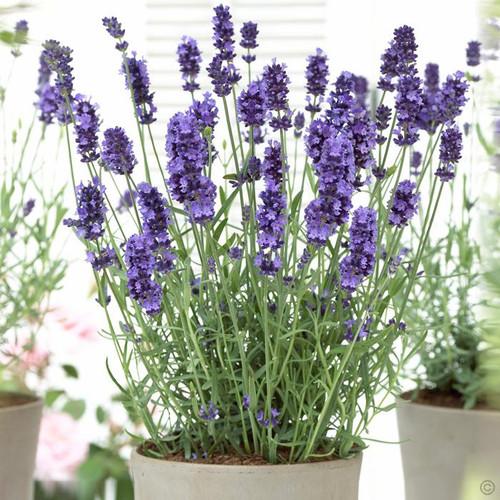 Lavender English 'Mini Blue' (Lavandula Angustifolia Mill.) Flower Plant Heirloom, 20 Seeds