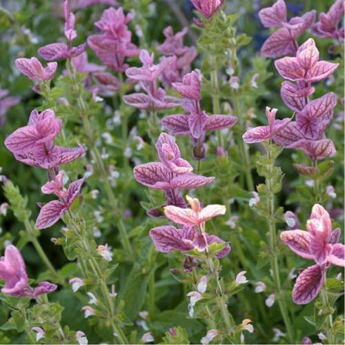 Sage Elegant, Clary 'Pink Sundea' (Salvia Viridis L.) Flower Plant Heirloom, 140 Seeds