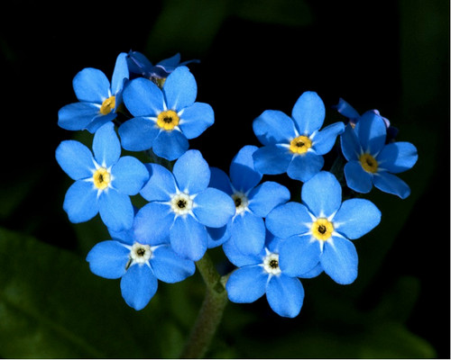 Forget-Me-Not 'Blue Ball' (Mysotis Alpestris F.W.Schmidt) Flower Plant Heirloom, 3000 Seeds