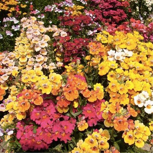 Nemesia 'Carnival' (Nemesia Strumosa Benth) Flower Plant Heirloom, 400 Seeds