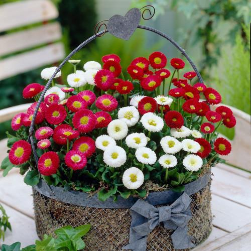 Daisy English 'Mix' (Bellis Perennis L.) Flower Plant Heirloom, 60 Seeds