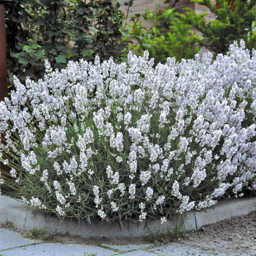 Lavender English 'Ellagance Snow' (Lavandula Angustifolia) Flower Plant Heirloom, 50 Seeds