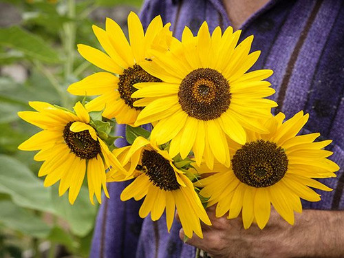 Sunflower 'Henry Wilde' (Helianthus Annus L.) Flower Plant Heirloom, 6-9 Seeds