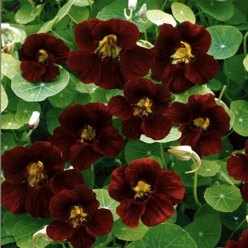Nasturtium 'Black Velvet' (Tropaeolum Minus) Flower Plant Heirloom, 4-6 Seeds
