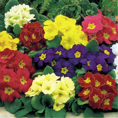 Primose Cowslip 'Colossea' (Primula Veris L.) Flower Plant Heirloom, 50 Seeds