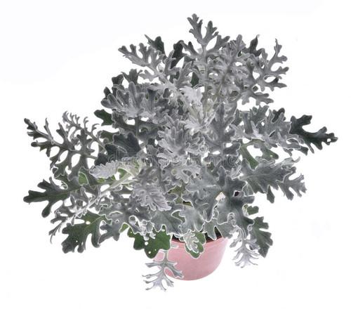 Silver Ragwort 'Candicans' (Senecio Cineraria DC.) Flower Plant Heirloom, 175-190 Seeds