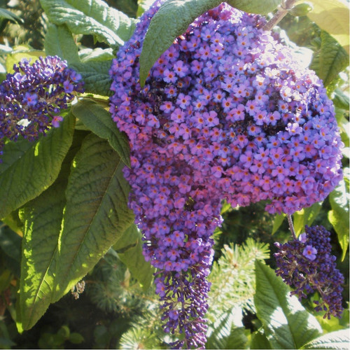 Heliotrope Garden 'Marine' (Heliotropium Arborescens L.) Flower Plant Heirloom, 150 Seeds