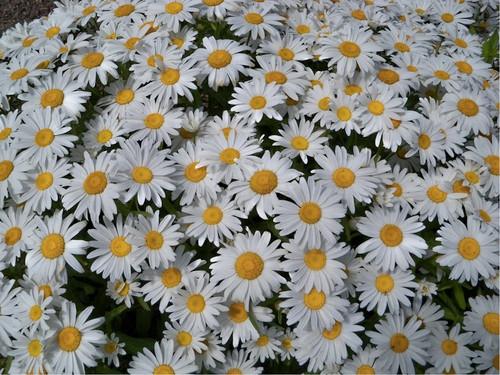 Shasta Daisy 'Alaska' (Leucanthemum Maximum Ramond DC.) Flower Plant Heirloom, 130-150 Seeds