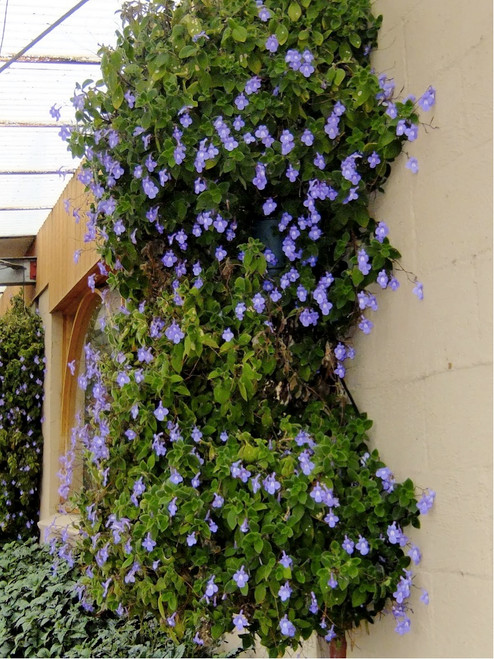 Snapdragon Twining 'Climbing Blue' (Asarina Scandens) Flower Plant Heirloom, 6 Seeds