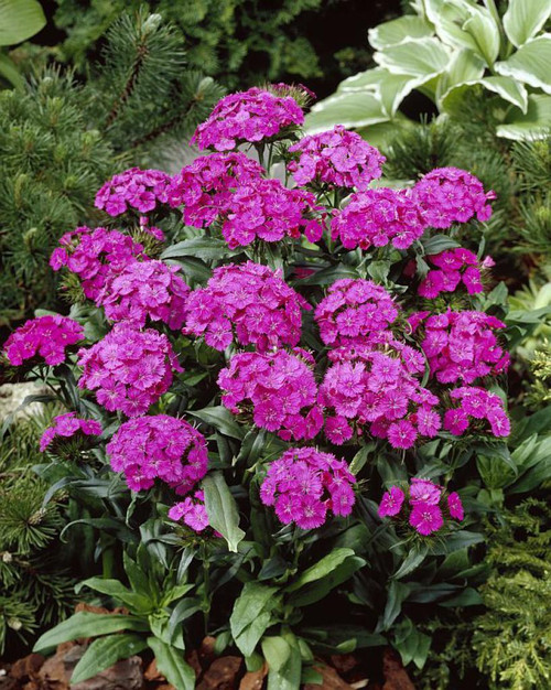 Sweet William 'Flashing Light' (Dianthus Barbatus L.) Flower Plant Heirloom, 0.3g (0.01oz) Seeds