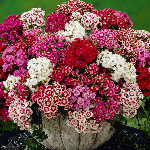 Sweet William 'Pinocchio' (Dianthus Barbatus L.) Flower Plant Heirloom, 90 Seeds