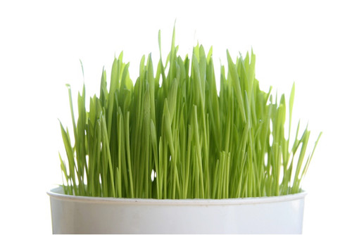 Easter Grass Decorative Year Round Heirloom, 6g (0.2oz) Seeds