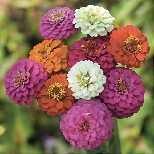 Zinnia 'Thumbelina' (Zinnia Elegans Jacq.) Flower Plant Heirloom,90-110  Seeds