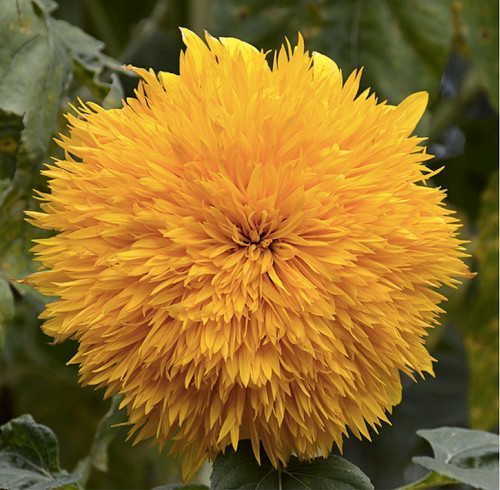 Sunflower 'Teddy Bear' (Helianthus Annuus L.) Flower Plant Heirloom, 90-110 Seeds