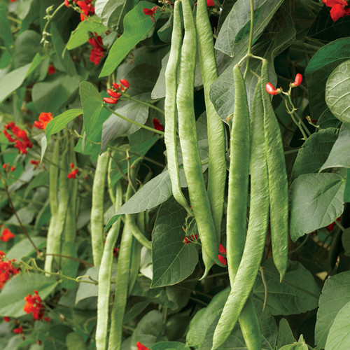 Scarlet Runner Bean 'Red' (Phaseolus Coccineus L.) Flower Plant Heirloom, 8g (0.3oz) Seeds