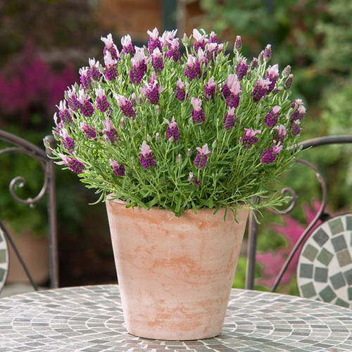 Lavender French 'Bandera Purple' (Lavandula Stoechas L.) Flower Plant Heirloom, 20 Seeds