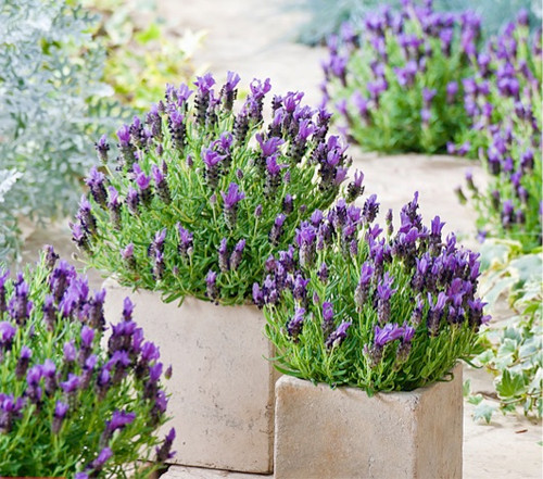 Lavender French 'Bandera Purple' (Lavadula Stoechas L.) Flower Plant Heirloom, 20 Seeds