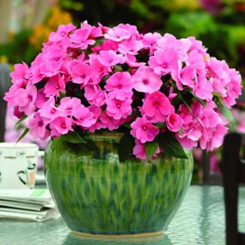 Busy Lizzie 'Impreza H Rose' (Impatiens Walleriana) Flower Plant Hybrid, 15 Seeds
