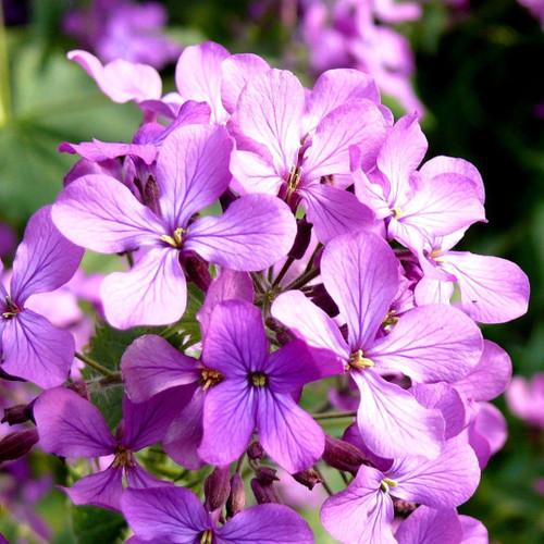 Night-Scented Stock 'Rose Mini' (Matthiola Bicornis) Flower Plant Heirloom, 30 Seeds